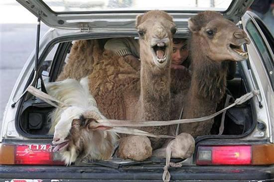 Transportando Animais